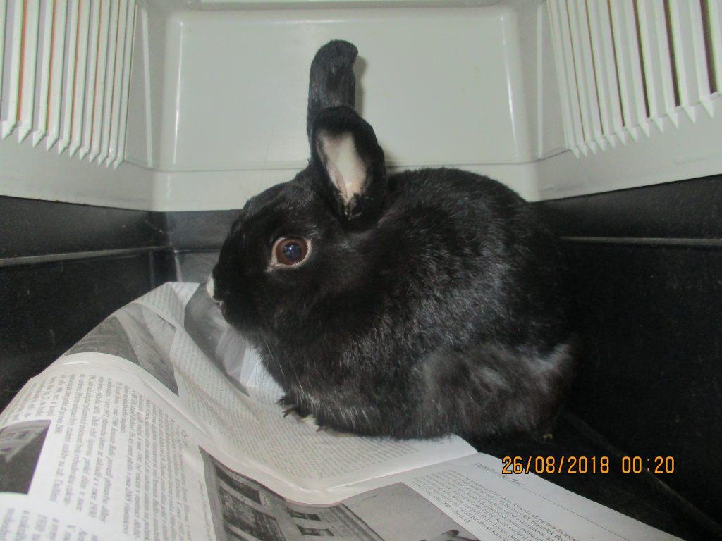 Odchyt králíka