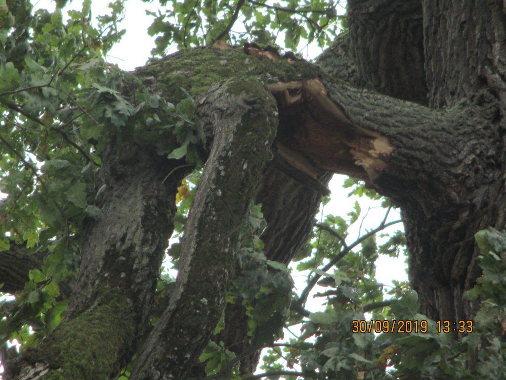 Detail částečně ulomené dubové větve