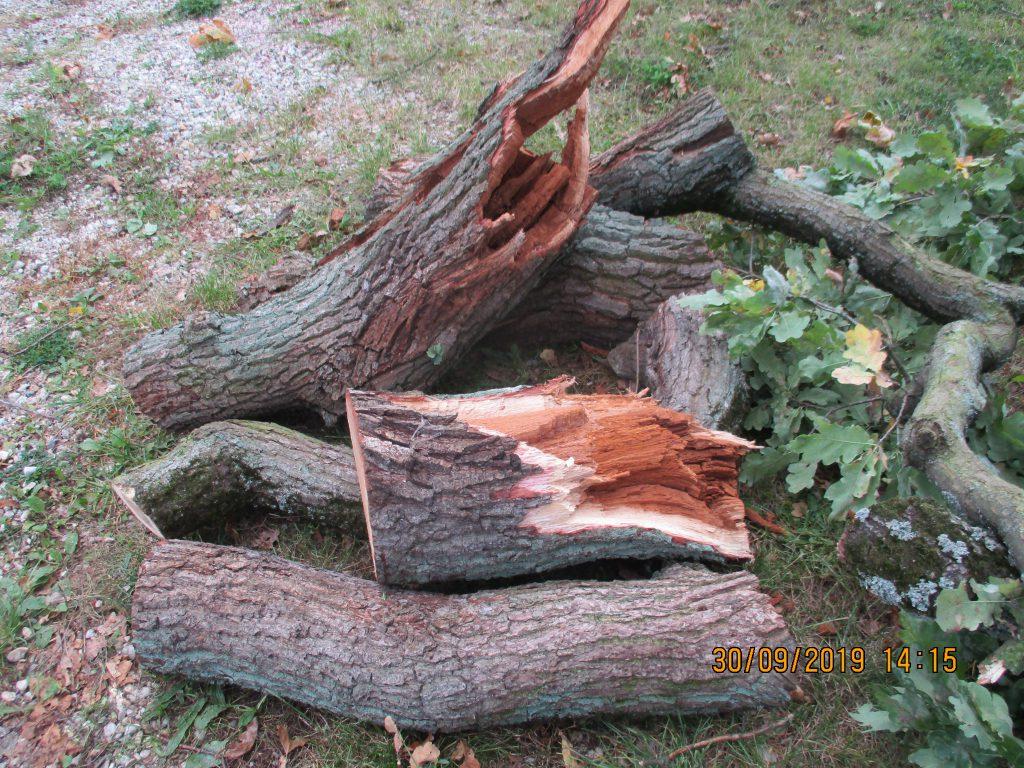 Dubová větev po odříznutí ze stromu